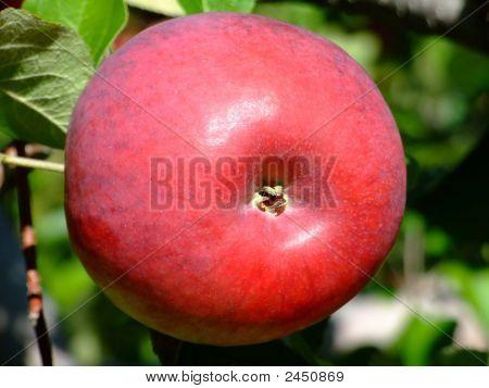 Cortland Apple Up Close