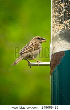 Female House Sparrow Eating From Hanging Bird Feeder