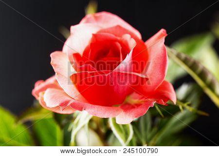 Pink Rose Over Black Background