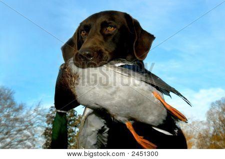 Lab And Mallard Duck