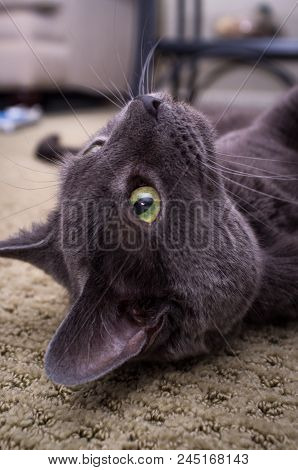 Pet Russian Blue Cat Posing And Laying On Carpet