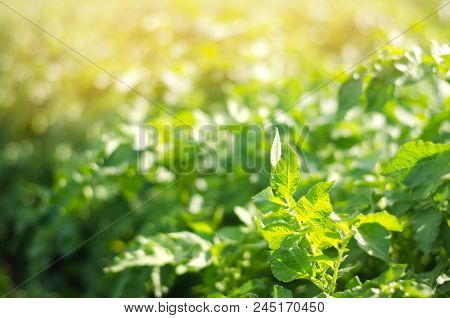 Bush Plant Of Young Potato Growing In The Field, Farming, Agriculture, Vegetables, Eco-friendly Agri