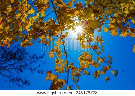 Golden Fall Leaves With Blue Skies In Background