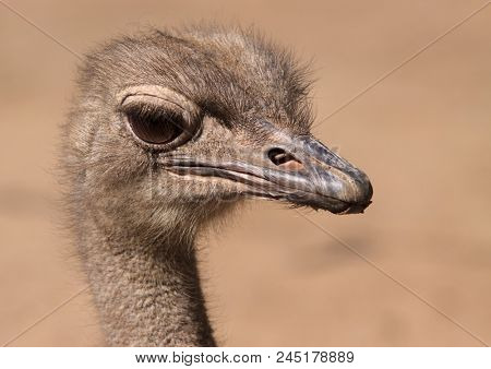 portrait of a young ostrich in the background of sand
