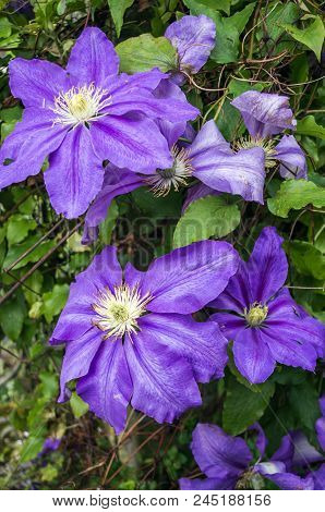 A Gorgeous Array Of Purple Clematis Hybrid Ristimagi Flowers