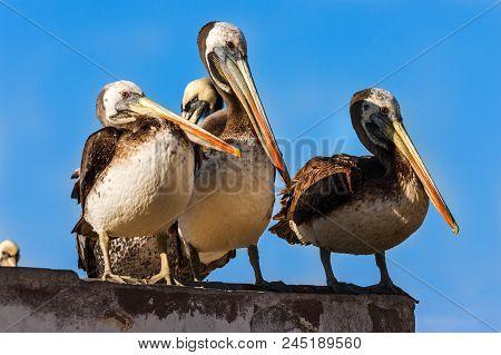 Brown Peruvian Pelicans In Paracas, Peru