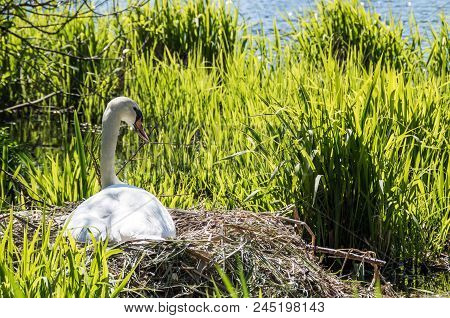 A Swan Nesting Beside A Lake On A Summers Day