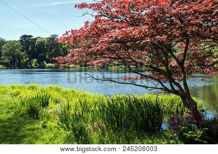 A Gorgeous Red Leaf Tree Beside A Stunning Lake.