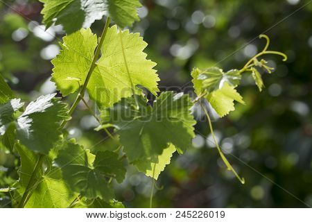 Vine Leaf In Backlight With Selective Focus And Blurred Background