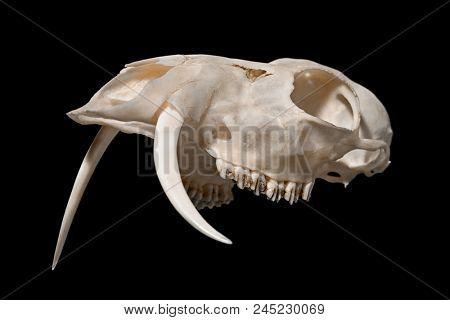 Skull of a Siberian musk deer (Moschus moschiferus)  on a black background