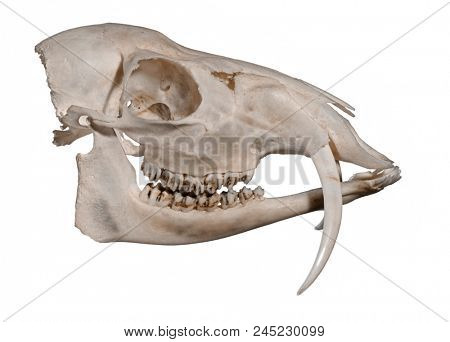 Skull of a Siberian musk deer (Moschus moschiferus) on a white background