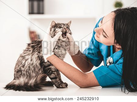 Young Veterinarian Woman In Vet Clinic Inspect Nice Cute Cat. Inspection Of Animal From Veterinarian