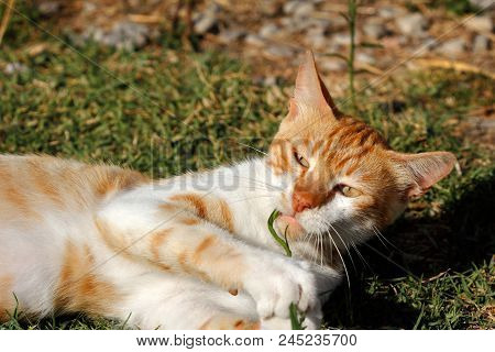 Portrait Of Feral White-orange Young Cat In The Countryside. Photography Of Nature And Wildlife.