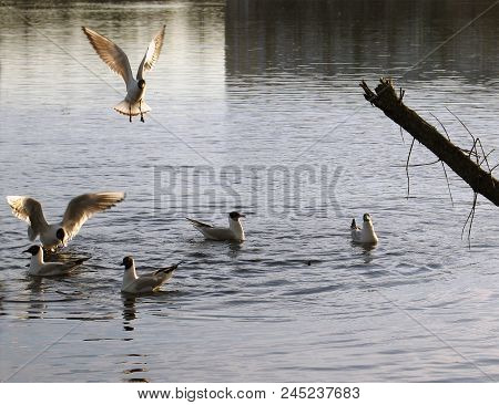 Flock of sea gulls floating and flying at the city pond and withered bough at the foreground poster