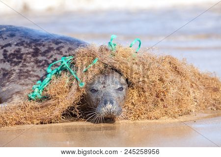 Plastic Marine Pollution. Seal Caught In Tangled Nylon Fishing Net. This Curious Wild Animal Was Att