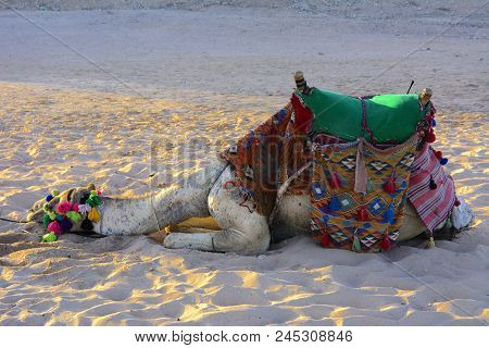 Bedouin Camel, Tied With A Long Rope Lies On A Sandy Beach Near The Sea Against A Background Of Yell
