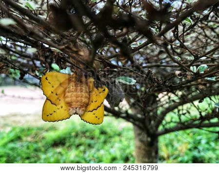 Yellow Butterfly Is About To Leave The Pupa.the Birth Of A Butterfly.nature Life Cycle Of Butterflie