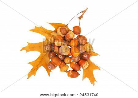 Acorns Upon Two Leafs On White