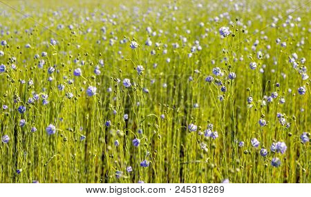 Closeup Of A Large Field With Blue Flowering Linum Usitatissimum Or Common Flax Plant For The Purpos