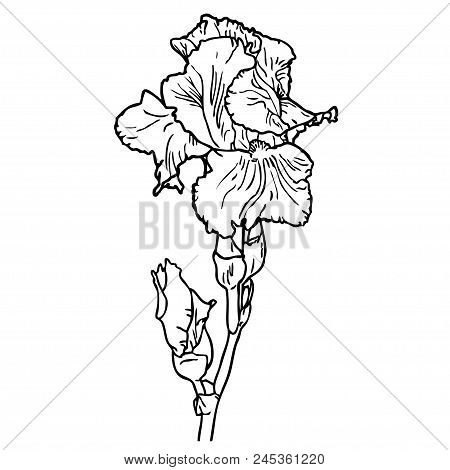 Black And White Outline Image Of Flower Of Iris