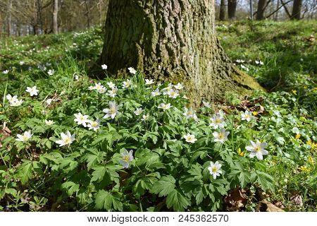 Beautiful Windflowers By An Oak Tree Trunk In The Woods