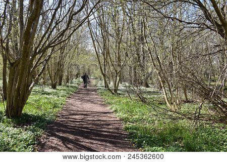 Walking On A Beautiful Footpath Surrounded With Blossom Windflowers At The Swedish Island Oland