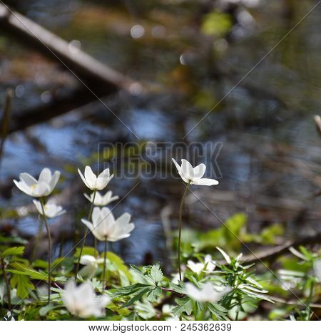 Group With Wood Anemones In A Low Perspective Image