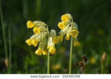 Beautiful Cowslip Flowers Closeup By A Natural Green Background