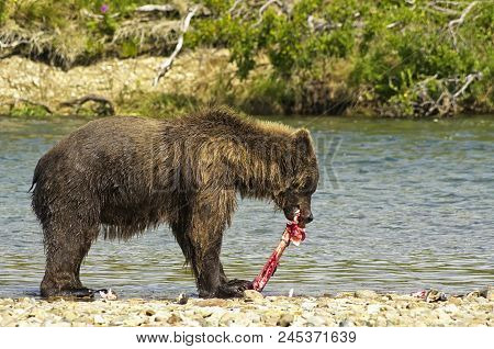 A Famish Giant Brown Bear Eating A Salmon In A River In The Katmai Peninsula, Alaska. Hungry Bear On