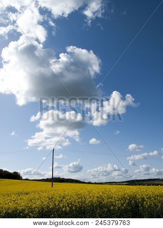 Oil Rapeseed Crop, Brassica Napus, Cultivated Mainly For Its Oil Rich  Seed Located On Farmland In R