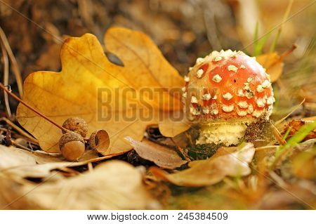 A Little Red Mushroom Of Amanita, Sheet Of An Oak And Acorns Lying On  Orange And Yellow Sheets In A