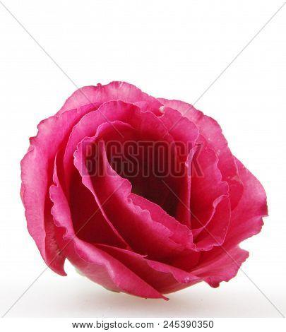 Rose Close Up, Isolated On White Background Stock Photos