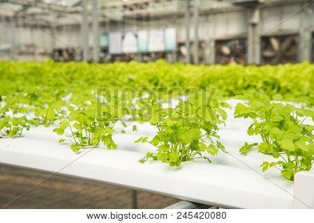 Organic Hydroponic Vegetable Cultivation Farm,cultivation Hydroponic Green Vegetable,coriander