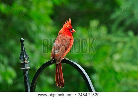 Northern Cardinal Or Redbird Or Common Cardinal - Cardinalis Cardinalis - Perched On Hook