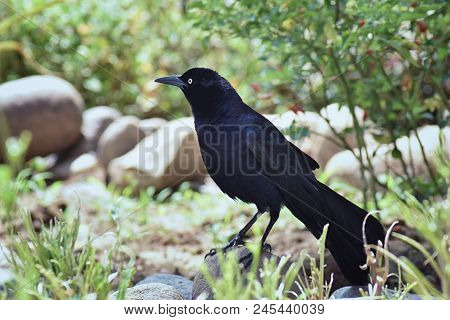 Great-tailed Grackle Bird Close Up  In Puerto Vallarta Mexico.