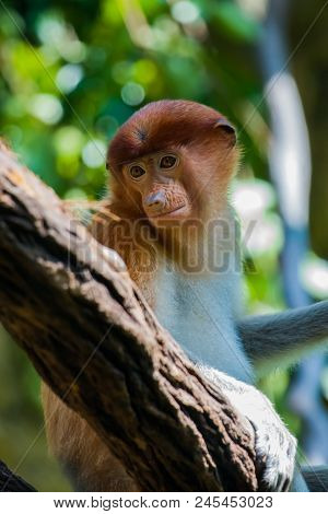 Close Up Of An Endangered Female Proboscis Monkey In A Tree