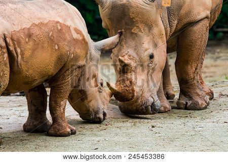 Mother And Baby White Rhino Practice Jousting.