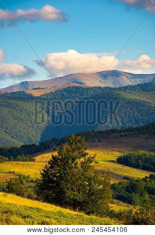 Tree Behind The Grassy Slope In High Mountains. Beautiful Summer Landscape With Borzhva Ridge In The