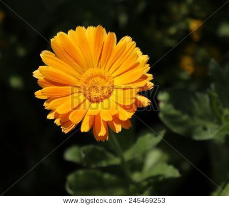 Common Marigold Is A Common Name For Several Plants In The Asteraceae Family Cultivated As Ornamenta