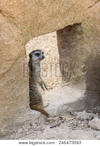 A Meerkat Standing At A Square Concrete Doorway