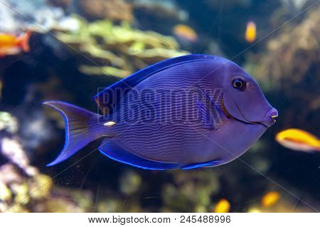 A Coral Reef Fish Of Blue Tang (acanthurus Coeruleus), A Surgeonfish With Other Names Such As Atlant