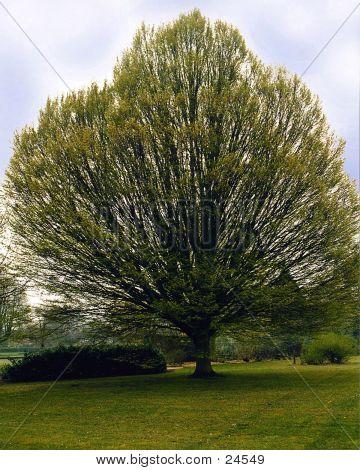Solitary Big Tree