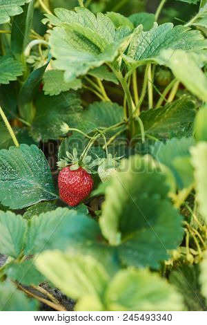 Bush Of Strawberry With Big Red Ripe Berry