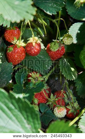 Bush Of Strawberry With Many Red Berries