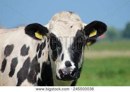 White Black Head Of A Cow In The Meadow In The Netherlands.