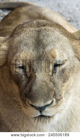A Cloesup Of A Lioness Looking Sleepy