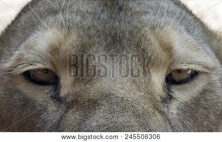 A Closeup Of The Eyes Of A Lioness