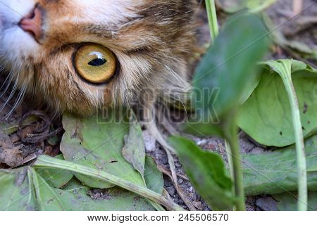 Young Surprised Cat Make Big Eyes Closeup. American Shorthair Surprised Cat Or Kitten Funny Face Big