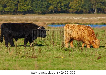 Grazing Red And Black Highland Cattle