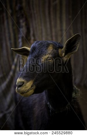 Sheep On A Farm For Animals, Detail Of Mammalian Animals, Domestic Animal, Wool And Milk Production